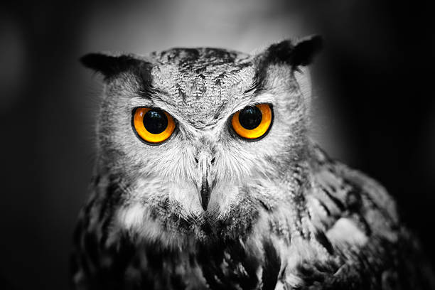 Headshot of a great horned owl Portrait of a female great horned owl against a dark background. Partially toned. animal eye stock pictures, royalty-free photos & images