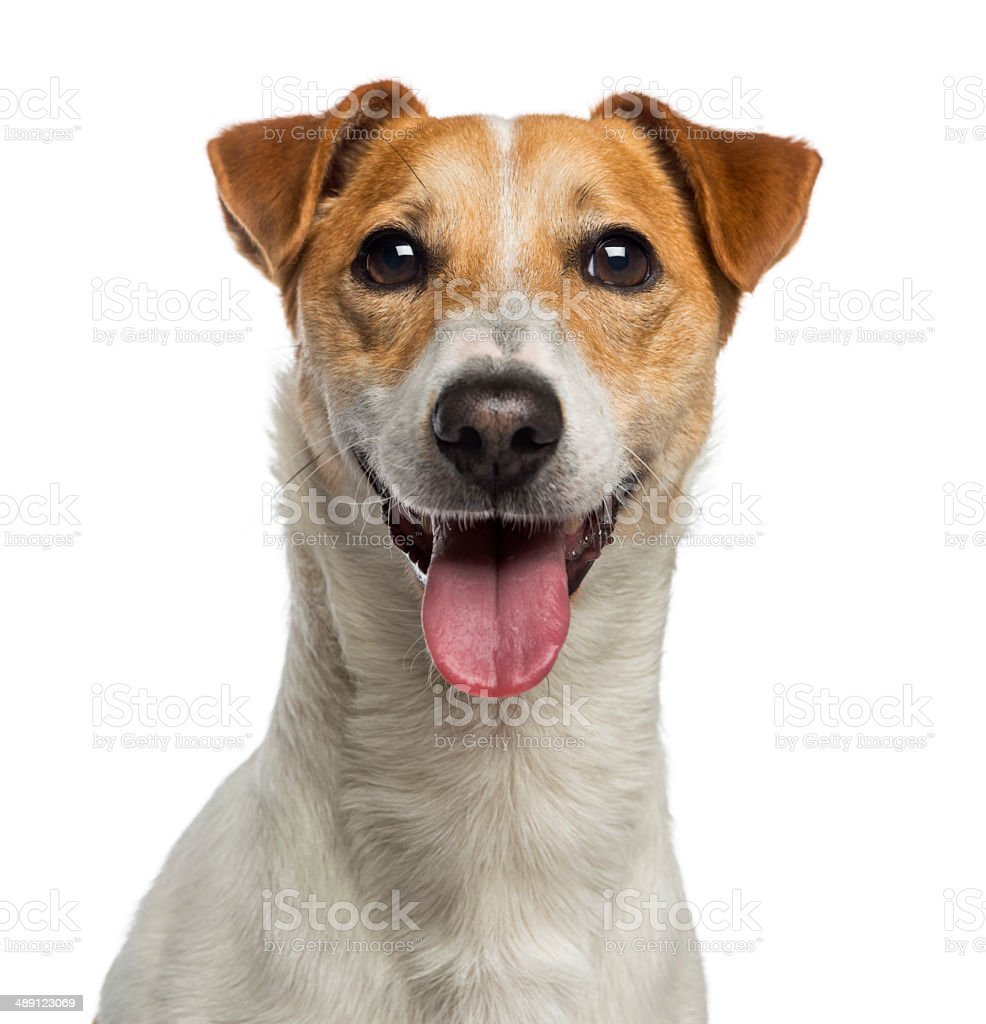Headshot of a Jack Russell Terrier (18 months old) stock photo