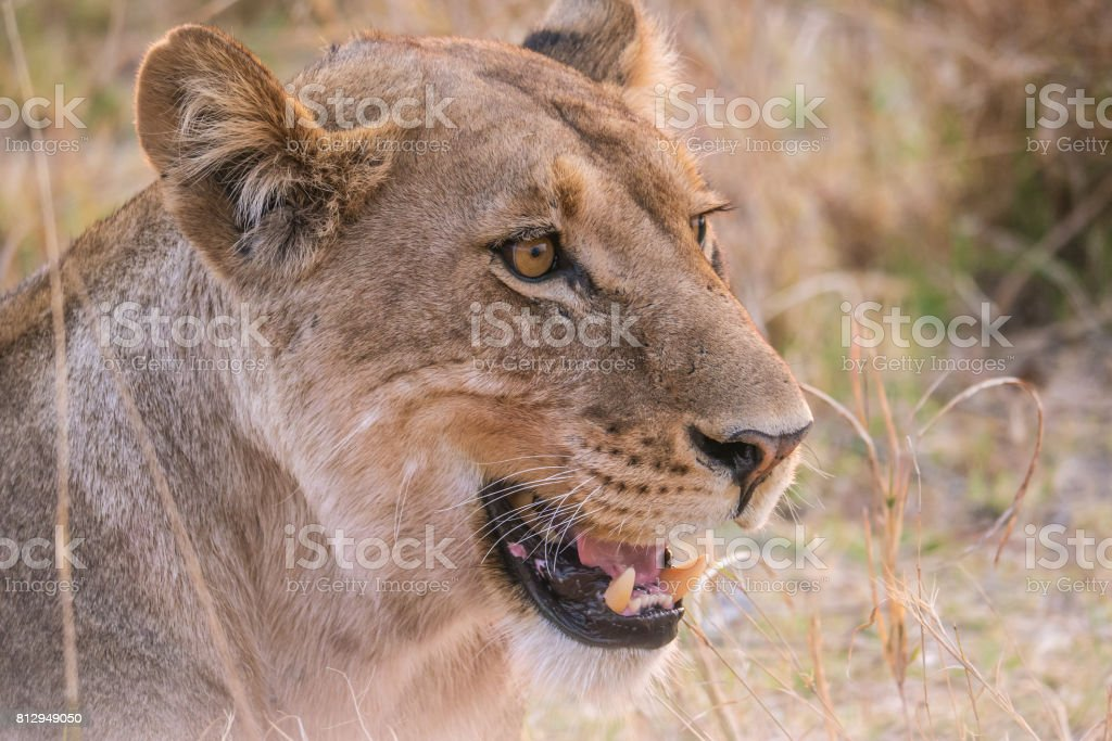 Headshot of a lioness in Africa with details of whiskers and mouth and teeth. stock photo