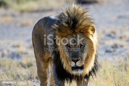 headshot of a male lion