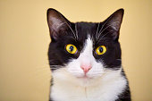 Headshot of a serious black and white tuxedo cat with yellow eyes looking at camera. Isolated on yellow background