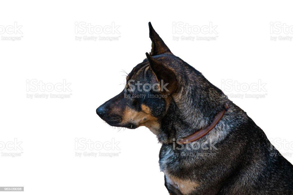 headshot en thailändska hund isolerad på vit bakgrund - Royaltyfri Beige Bildbanksbilder