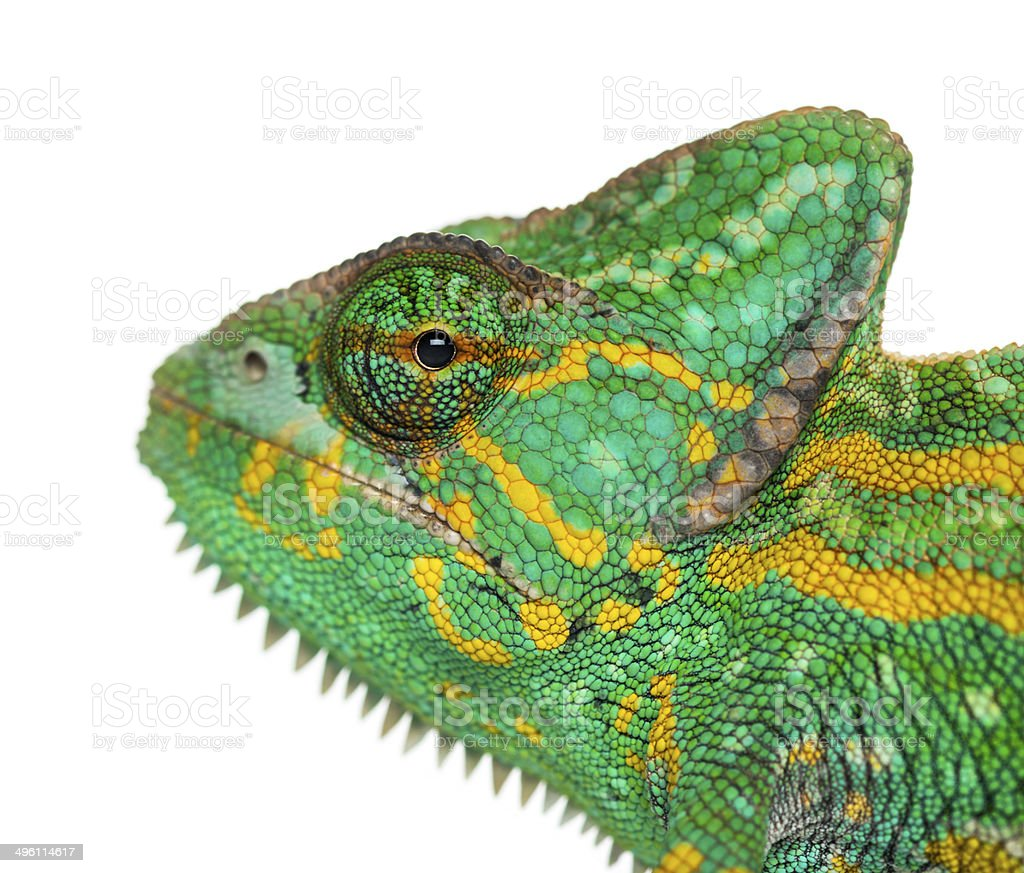 Headshot of a Yemen chameleon - Chamaeleo calyptratus stock photo