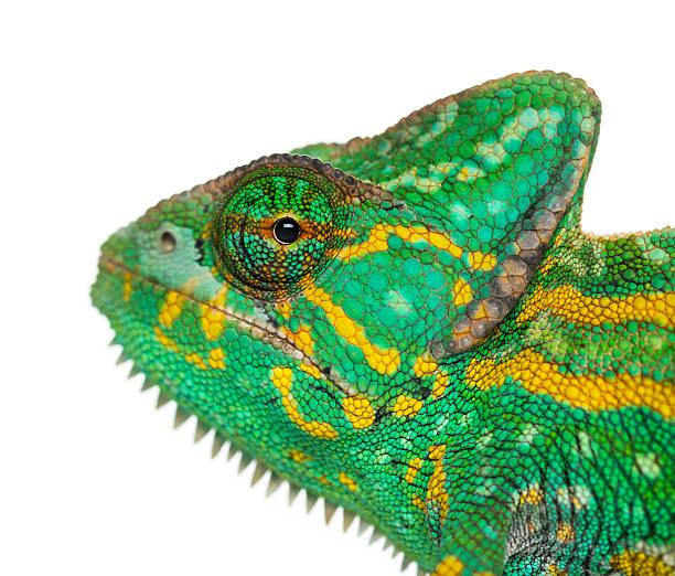 zdjęcie z jemen chameleon-chamaeleo calyptratus - kameleon zdjęcia i obrazy z banku zdjęć
