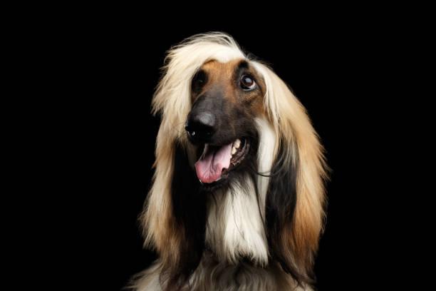 Headshot of afghan hound on black picture id681441238?b=1&k=6&m=681441238&s=612x612&w=0&h=xfbnr7b2bdj6n qdrtvqvmvmbcmr3kk6yrcxqm7rb38=