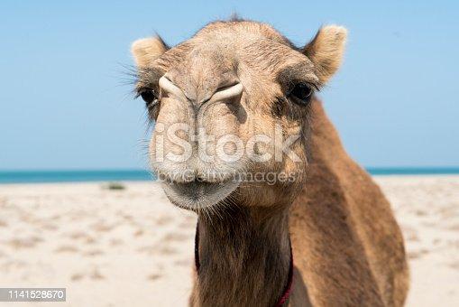 Animal photograph with the headshot of a camel on a beach, Oman