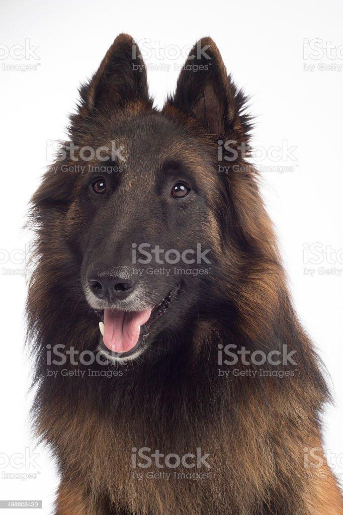 headshot of dog, Belgian Shepherd Tervuren, isolated stock photo