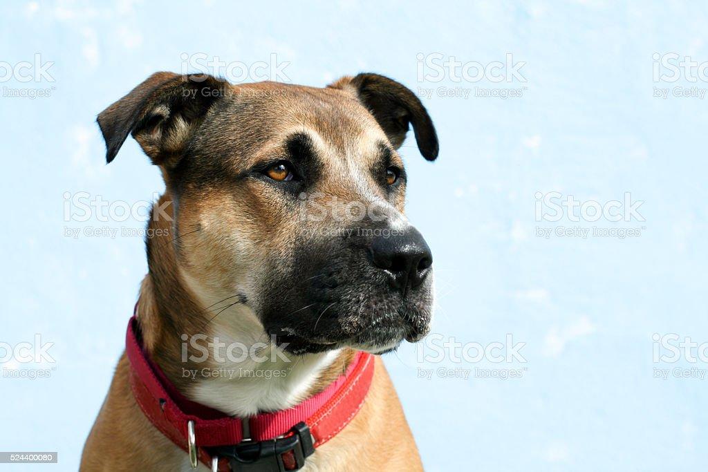 Headshot of large mixed breed dog looks right stock photo