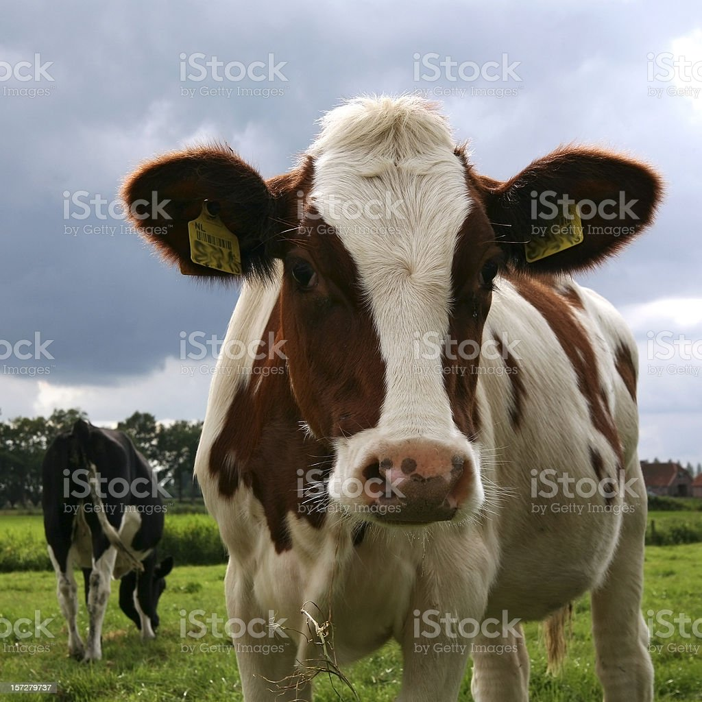 Headshot of nosy Dutch cow looking in camera royalty-free stock photo