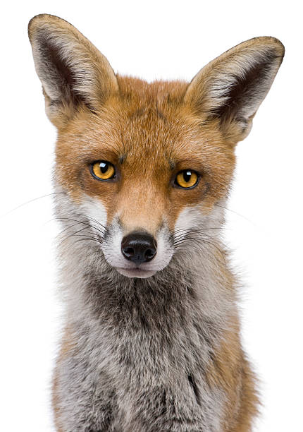 headshot of red fox on white background - fox stock photos and pictures