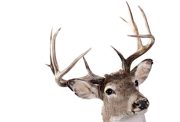 A headshot of the whitetail buck on a white background stock photo