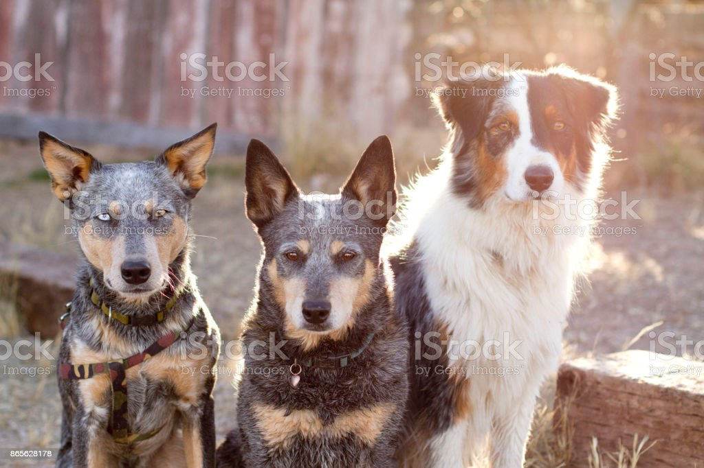 Headshot of three dogs with natural lighting stock photo
