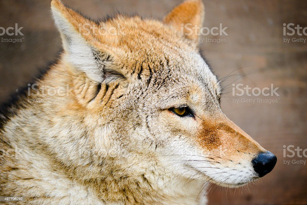 Headshot of young wolf stock photo
