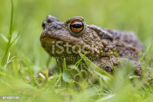 Headshot Portrait of a Common toad (Bufo bufo) with blurres grass background
