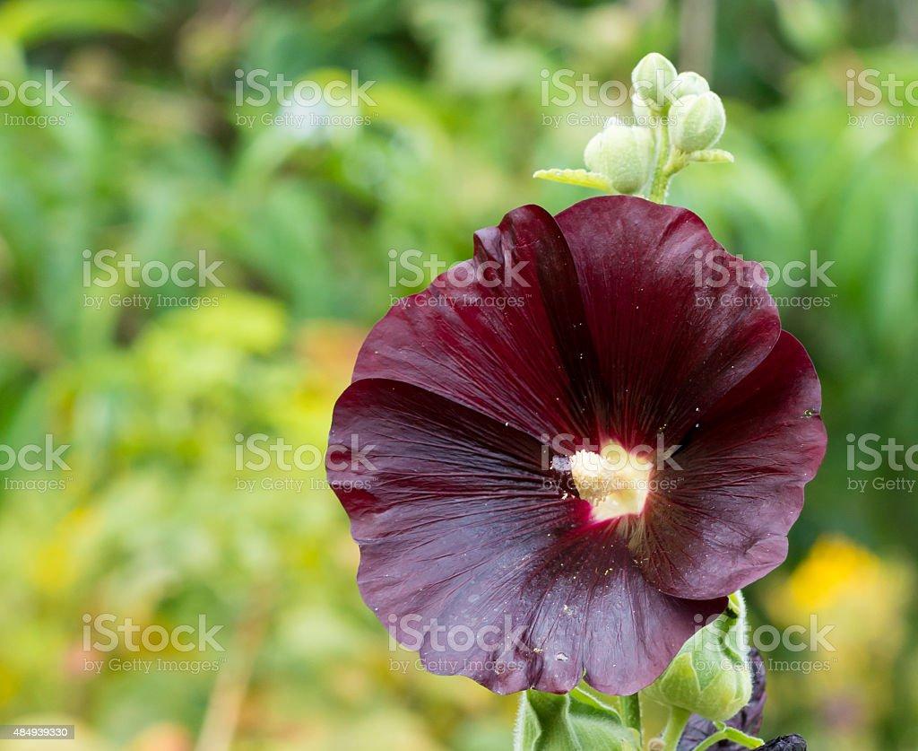 healing herbs - Alcea Rosea Nigra stock photo