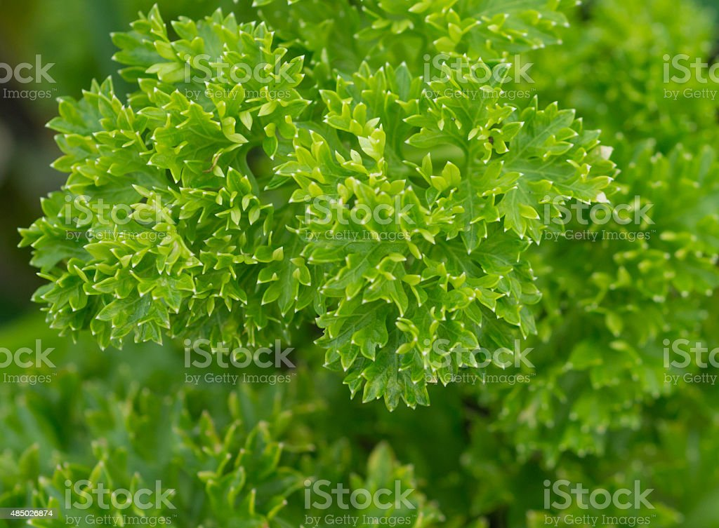 healing herbs - Petroselinum crispum stock photo