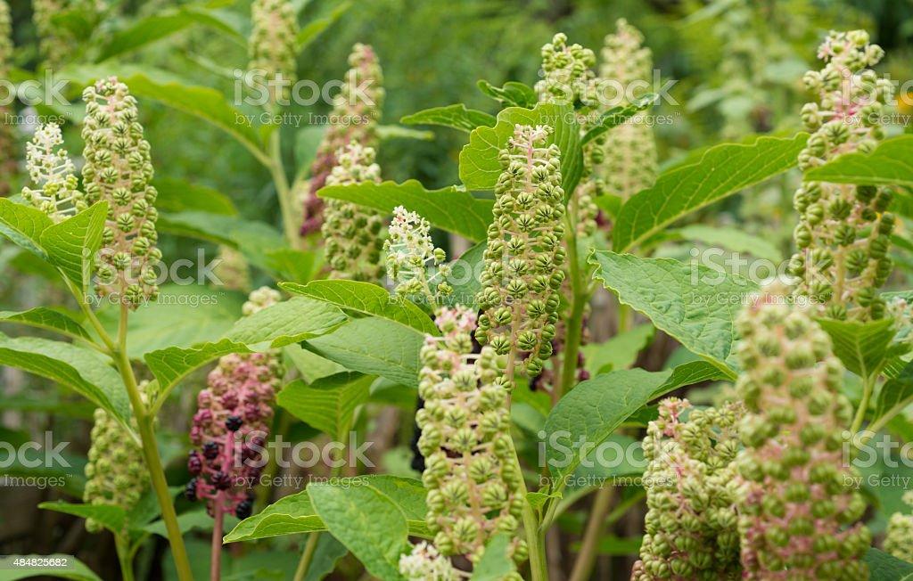 healing herbs - Phytolacca esculenta stock photo
