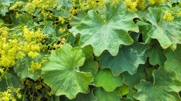 healing herbs plant - alchemilla vulgaris - german: frauenmantel -   lady's mantle - przywrotnik zdjęcia i obrazy z banku zdjęć