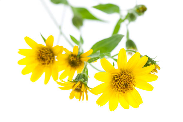Healing plants arnica isolated lying on white background picture id944691452?b=1&k=6&m=944691452&s=612x612&w=0&h=g5ryugkjxgo6oaayysfz8 b3wxnc c  krgwget3dvm=