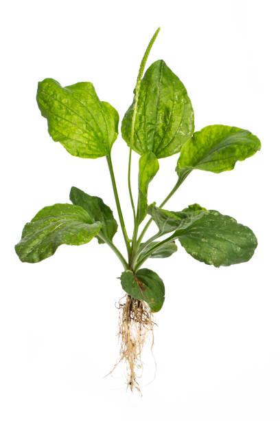 식물 치료: broadleaf 질경이 (장 주요 l.)  -흰색 배경 전체 공장 - 플렌틴 바나나 뉴스 사진 이미지