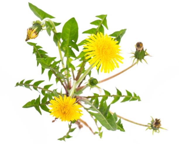 Heilpflanzen: Löwenzahn (Taraxacum Officinale) von oben auf weißem Hintergrund – Foto
