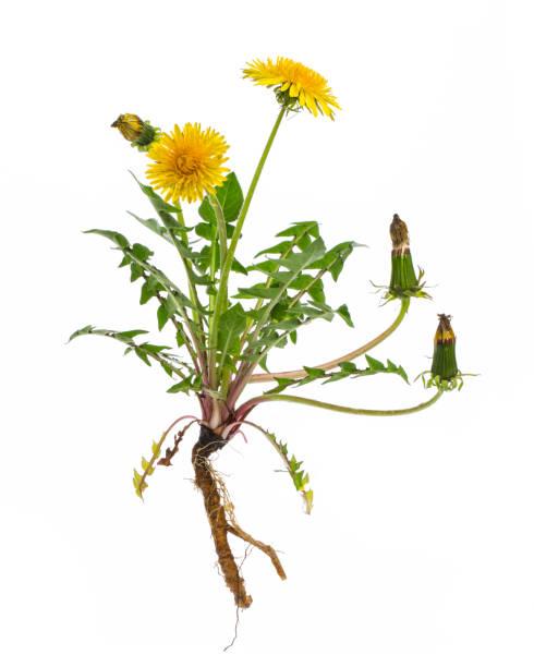 heilpflanzen: löwenzahn (taraxacum officinale) - ganze pflanze auf weißem hintergrund - löwenzahn korbblütler stock-fotos und bilder