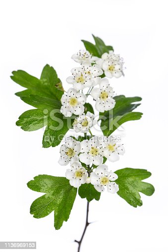 healing plants: Hawthorn (Crataegus monogyna) flowers and leaves isolated on white background
