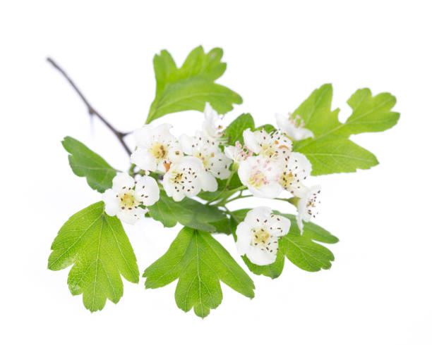Heilpflanzen: Weißdorn (Crataegus Monogyna) Blüten und Blätter auf weißem Hintergrund – Foto