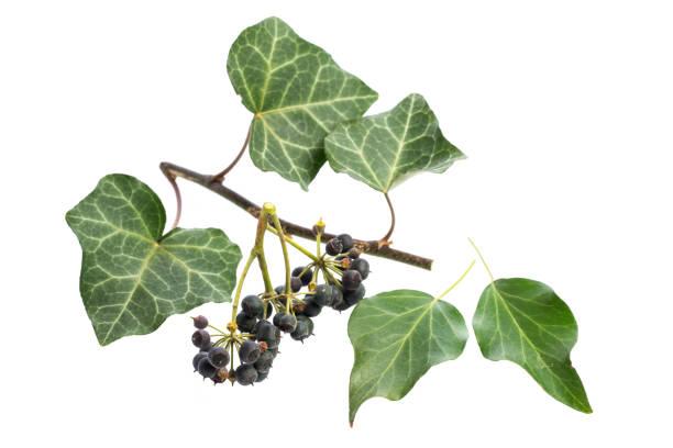 heilende pflanzen: efeu (hedera helix) teile der pflanze - poison ivy pflanzen stock-fotos und bilder