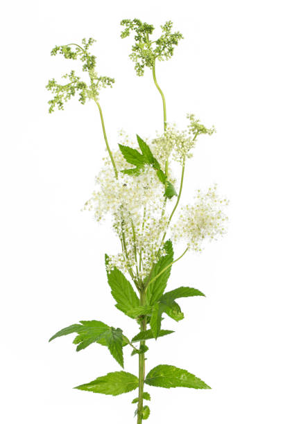 healing plants: meadowsweet (Filipendula ulmaria) blossom and leafes on white background medicinal plant meadowsweet - from our own garden in austria antipyretic stock pictures, royalty-free photos & images