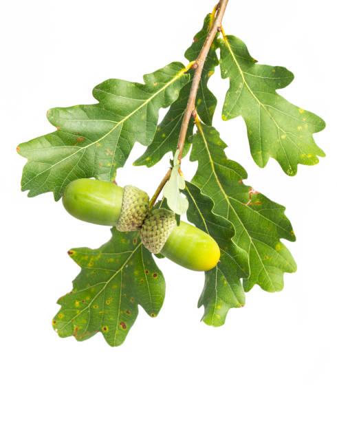 heilpflanzen: eiche (quercus) zweig auf weißem hintergrund - eichenblatt stock-fotos und bilder