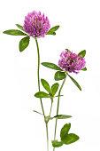 medicinal plant Trifolium pratense collected in austria