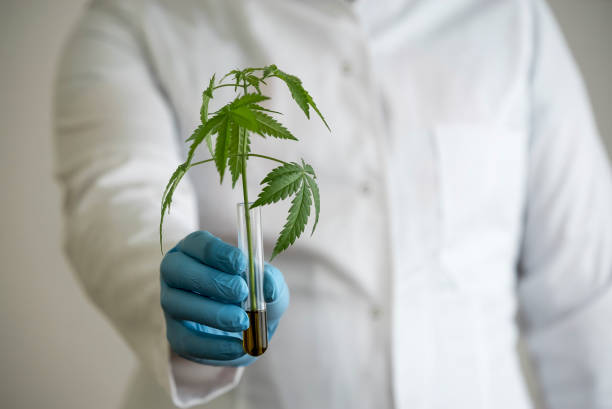 hälso koncept med vetenskaps man som håller glasrör med marijuana växt blir cbd-olja. han är klädd i blå latex handskar. - carpel bildbanksfoton och bilder