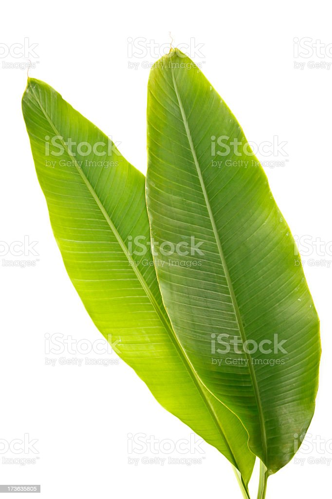 Healthy and green banana plant leaves stock photo