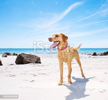 A healthy and happy Labrador retriever dog standing on a white sandy beach on a tropical island with vitality and vigour and copy space