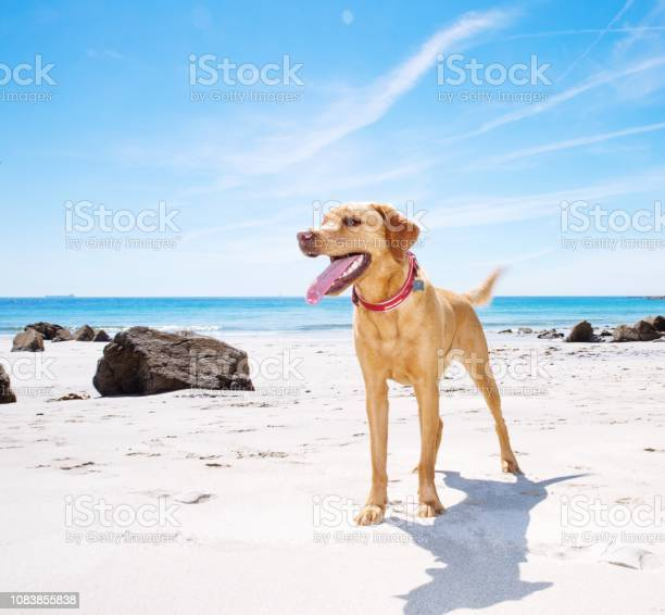Healthy and happy labrador retriever dog picture id1083855838?b=1&k=6&m=1083855838&s=612x612&h=zfchzzshfq04mtxzz2acuclam30b4gswnbsq4ytkqwm=