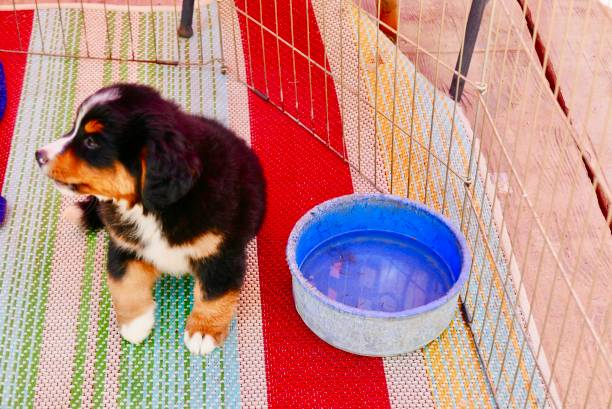 healthy bernese mountain dog puppies sharing water bowl - playpen stock pictures, royalty-free photos & images