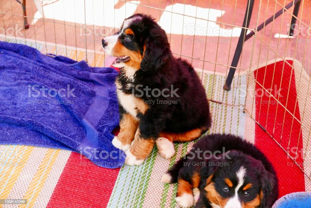 Healthy Bernese Mountain Dog Puppies Sharing Water Bowl