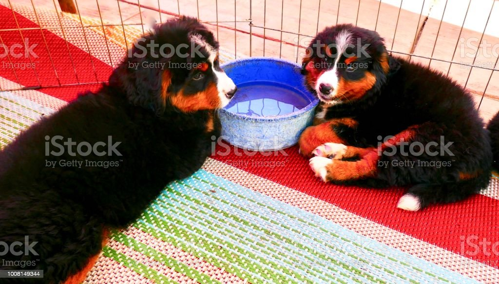 Healthy Bernese Mountain Dog Puppies Sharing Water Bowl Stock Photo -  Download Image Now