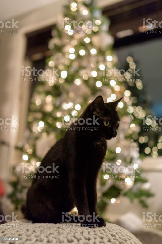 Healthy black cat poses with Christmas tree behind stock photo