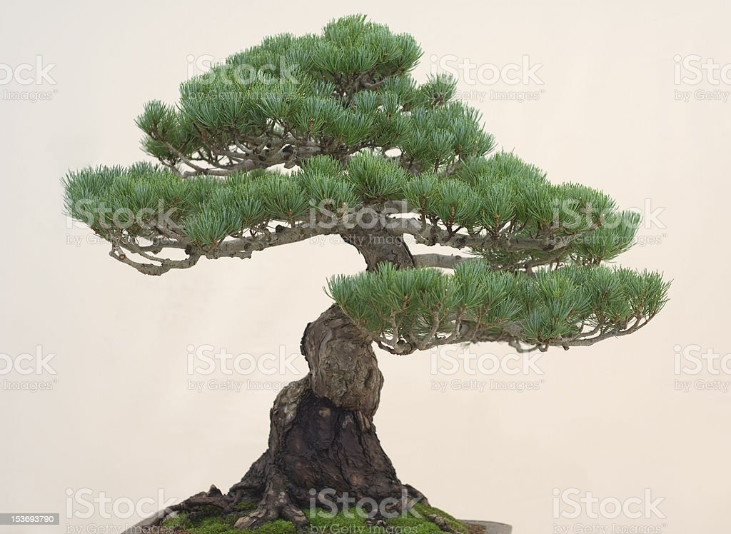 Gesunde bonsai – Foto