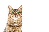 Relaxed and healthy tabby cat portrait with nice copy space for your messages.