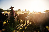 Full length shot of a male farmer tending to his herd of cattle on the farm