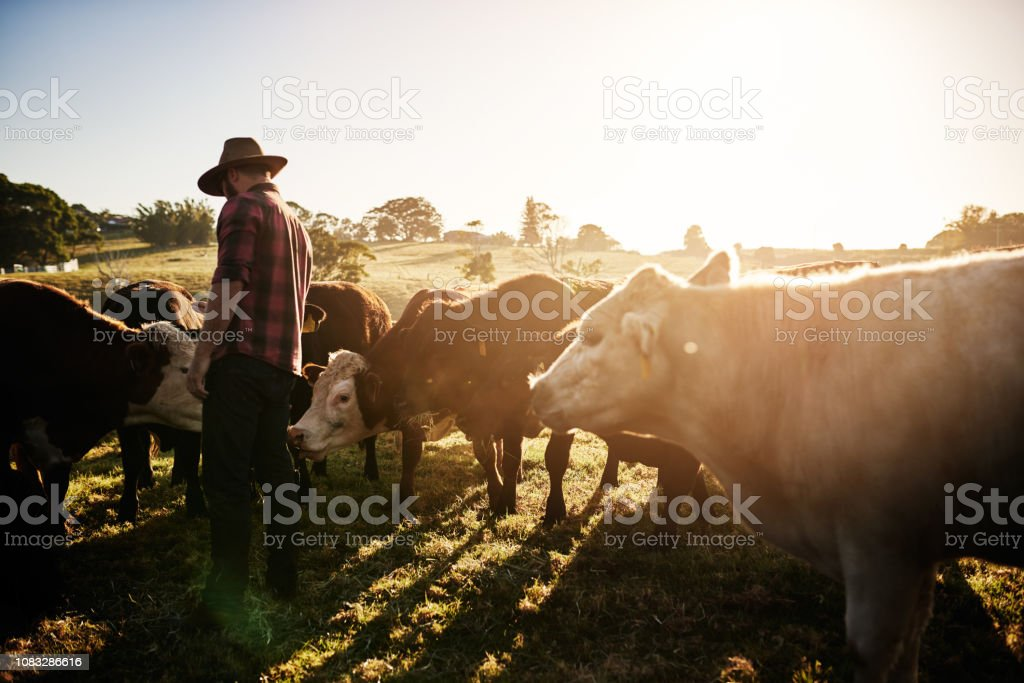Healthy cattle equals a healthy farm stock photo