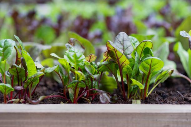 gesunde mangold pflanzen wachsen im erhöhten pflanzer bett - mangoldgemüse stock-fotos und bilder