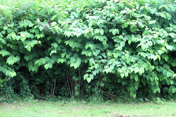 healthy crop of japanese knotweed - japanese knotweed stock pictures, royalty-free photos & images