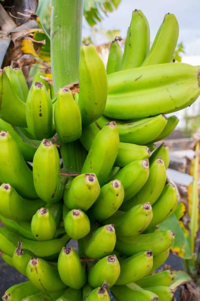 gesundes essen haufen bananen südfrüchte druckwerk auf bananenstaude - bananeneis stock-fotos und bilder