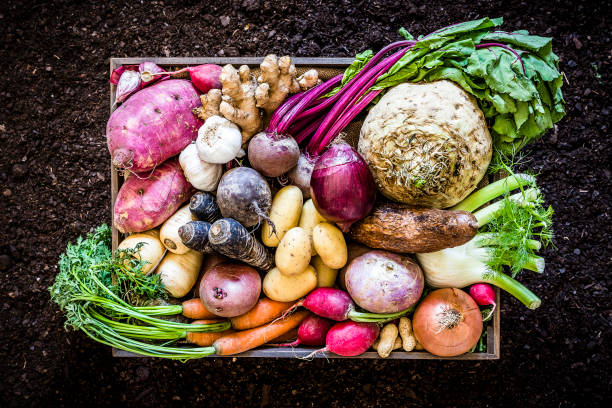 Healthy food: organic roots, legumes and tubers still life. Top view of a large group of multicolored fresh organic roots, legumes and tubers shot on a rustic wooden crate surrounded by soil. The composition includes potatoes, Spanish onions, ginger, purple carrots, yucca, beetroot, garlic, peanuts, red potatoes, sweet potatoes, golden onions, turnips, parsnips, celeriac, fennels and radish. Low key DSLR photo taken with Canon EOS 6D Mark II and Canon EF 24-105 mm f/4L brassica rapa stock pictures, royalty-free photos & images