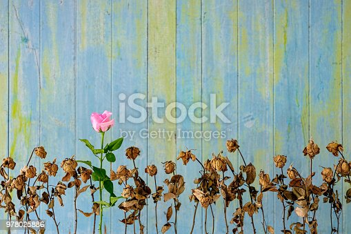 Healthy fresh pink blooming rose among a row of other dried dead pink roses against an old weathered blue and green wooden paneled wall.Concept image regarding standing out from the crowd, conquering adversity, survival, better than the rest, achievement, growth etc.