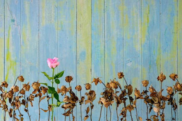 healthy fresh pink blooming rose among a row of other dried dead pink roses against an old weathered blue and green wooden paneled wall. - tenere la testa fuori dall'acqua foto e immagini stock
